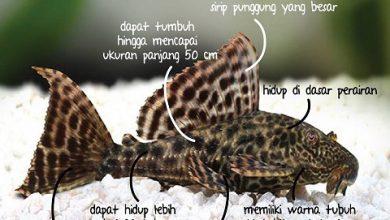 Jenis Ikan Sapu-Sapu yang Dilarang dan Dianggap Bahaya di Perairan Indonesia