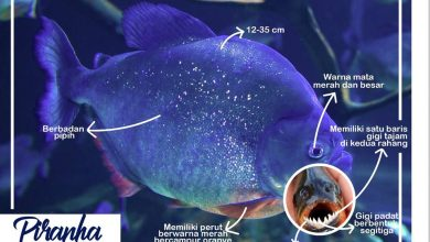 ikan piranha jenis ikan berbahaya Dilarang Hidup di Indonesia