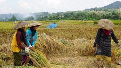 Para Perempuan Memiliki Peran Penting Panen Raya di Desa Cicantayan Sukabumi