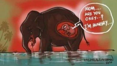 Kisah Sadis Manusia Memberi Nanas Berisi Petasan Ke Seekor Gajah Hamil di Kerala India