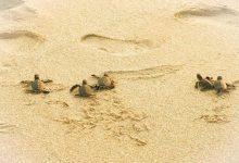 Konservasi Penyu Pantai Pangumbahan Sukabumi. Foto azzahraqdj