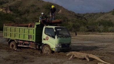 Truk Berhadapan dengan Komodo di Pulau Rinca Komodo
