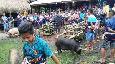 Babi dalam Pesta di Sumba Barat