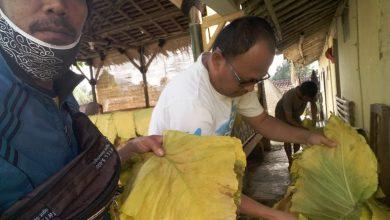 Panen Daun Talas Beneng dari Petani Milenial Kampung Cijati Sukabumi